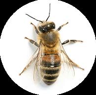 Včela dělnice - Včelařství Ratajovi - prodej medu