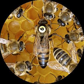 Včelí matka - prodej